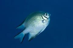 LattenDamselfish Lizenzfreies Stockfoto