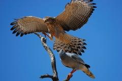 Lattensingenhühnerhabicht (Melierax canorus) Lizenzfreie Stockbilder