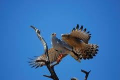 Lattensingenhühnerhabicht (Melierax canorus) Stockbilder