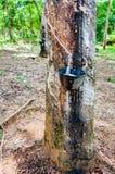Lattice bianco estratto da un albero di gomma Fotografia Stock Libera da Diritti