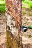 Lattice bianco estratto da un albero di gomma Fotografie Stock