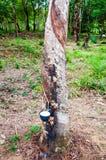 Lattice bianco estratto da un albero di gomma Immagine Stock