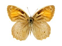Lattice Brown butterfly Stock Photo