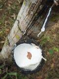 Lattice dell'albero di gomma fotografia stock libera da diritti