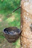 Lattice della gomma para dall'albero di gomma Fotografie Stock