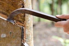 Lattice di spillatura da un albero di gomma. Fotografie Stock