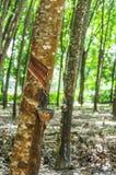 Lattice di spillatura da un primo piano dell'albero di gomma Fotografie Stock