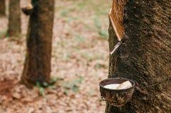 Lattice latteo in ciotola di legno dall'albero della gomma in Tha del sud Fotografie Stock Libere da Diritti