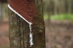 Lattice latteo fresco estratto dall'albero della gomma Fotografia Stock