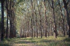 Lattice naturale dell'albero di gomma Immagini Stock Libere da Diritti