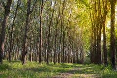 Lattice naturale dell'albero di gomma Fotografia Stock Libera da Diritti