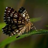 Latticed вереск, clathrata Chiasmia сумеречница Geometridae семьи Стоковое Фото