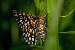 Latticed вереск, clathrata Chiasmia сумеречница Geometridae семьи Стоковые Фото