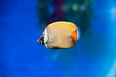 Latticed butterfly fish. In the bright blue water swimming exotic fish butterfly Royalty Free Stock Photos