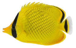 Latticed Butterfly fish. Chaetodon rafflesi Stock Images
