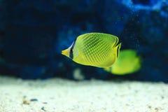 Latticed butterflyfish arkivbilder