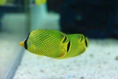 Latticed butterflyfish arkivbild