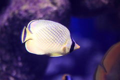 Latticed butterflyfish Stock Photo