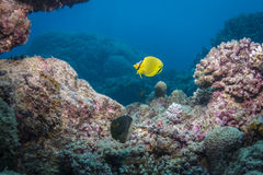 Latticed Butterflyfish Royalty Free Stock Photo