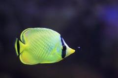 Latticed butterflyfish Стоковое Изображение