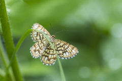 Latticed Heath butterfly turning head Stock Photography