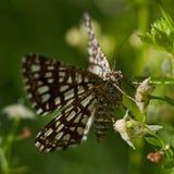 The Latticed Heath, Chiasmia clathrata Royalty Free Stock Photo