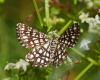 The Latticed Heath, Chiasmia clathrata Royalty Free Stock Photos