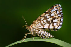 Latticed heath, Chiasmia clathrata, is a moth of the family Geometridae. Beautiful nigt butterfly sitting on the green grass leave Stock Photography