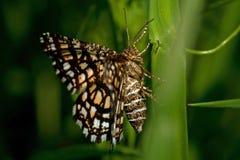 Latticed heath, Chiasmia clathrata is a moth of the family Geometridae stock photos