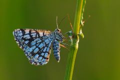 latticed heath butterflyx royalty free stock photo