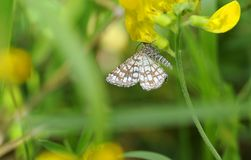 Latticed Heath Moth Hanging from Buttercup Flower royalty free stock image