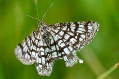 Latticed heath (Semiothisa clathrata) day-flying moth royalty free stock photo