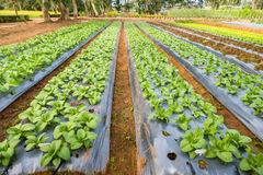 Lattuga in azienda agricola organica Fotografia Stock