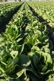 Lattuga che cresce nelle file sull'azienda agricola di agricoltura di California del sud Fotografie Stock Libere da Diritti