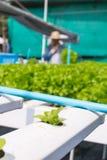 Lattuga cruda dell'insalata verde che cresce in tubo di plastica nella coltura idroponica O Fotografie Stock Libere da Diritti