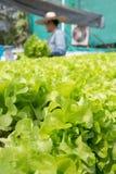 Lattuga cruda dell'insalata verde che cresce in tubo di plastica nella coltura idroponica O Immagine Stock Libera da Diritti