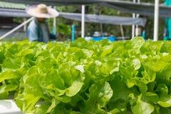 Lattuga cruda dell'insalata verde che cresce in tubo di plastica nella coltura idroponica O Fotografia Stock