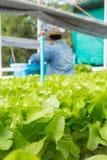 Lattuga cruda dell'insalata verde che cresce in tubo di plastica nella coltura idroponica O Fotografie Stock