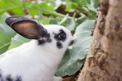 Lattuga del coniglio Fotografie Stock Libere da Diritti