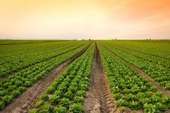 lattuga del raccolto Immagini Stock