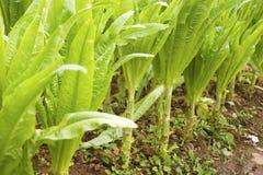 Lattuga dell'asparago Fotografia Stock