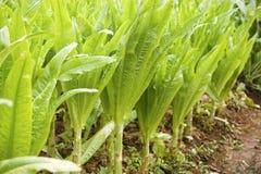 Lattuga dell'asparago Fotografie Stock