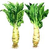 Lattuga dell'asparago, sedano, verdura del celtuce, gambo e foglie verdi isolati, illustrazione dell'acquerello su bianco Immagini Stock Libere da Diritti