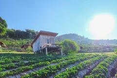 Lattuga dell'orto e vecchio paesaggio della casa del cielo blu-chiaro della Tailandia soleggiato immagini stock libere da diritti