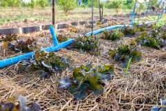 Lattuga della quercia rossa che cresce nel giardino Fotografie Stock Libere da Diritti