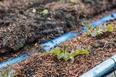 Lattuga della quercia rossa di agricoltura biologica su suolo nel diagramma del giardino Immagine Stock