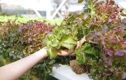 Lattuga della quercia rossa nel tempo di raccolta nella mia azienda agricola di verdure fotografia stock