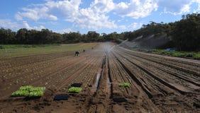 Lattuga della semina - lavoro sull'azienda agricola Immagini Stock Libere da Diritti