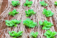 Lattuga di butterhead verde nel campo organico Immagini Stock
