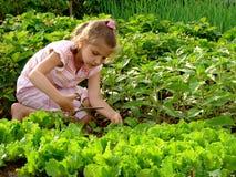 Lattuga di coltivazione Fotografia Stock Libera da Diritti